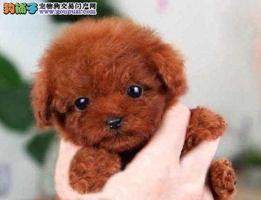 基地直销超可爱泰迪犬南昌地区购犬送用品