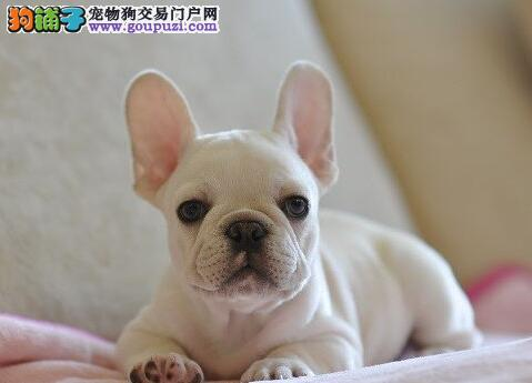 青岛本地出售高品质法国斗牛犬宝宝爱狗人士优先狗贩勿扰