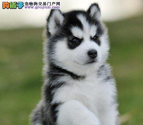 北京正规犬舍直销出售哈士奇 全国范围内可办空运汽运