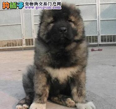 杭州基地出售大骨架高加索犬保健康质保终身1