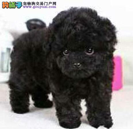 直销价格出售哈尔滨泰迪犬 保证纯种健康假一赔十