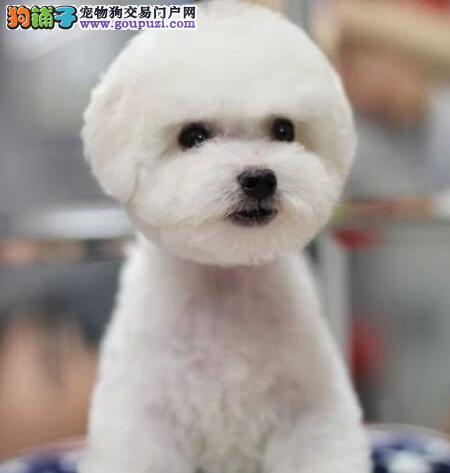 出售厦门比熊幼犬 不纯种可以十倍赔偿 签订协议1