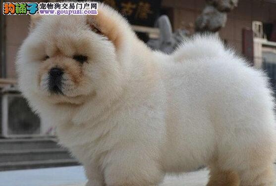 北京正规狗场繁殖纯种肉嘴松狮犬实物拍摄不纯包退换