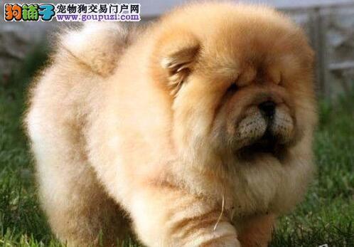 憨厚老实松狮犬 武汉大型犬舍直供3
