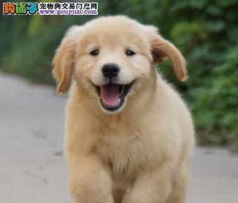 咸宁市售家养大头金毛幼犬 黄金猎犬幼犬公母全有可挑