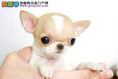 呼和浩特直销苹果脸吉娃娃幼犬墨西哥进口吉娃娃保健康