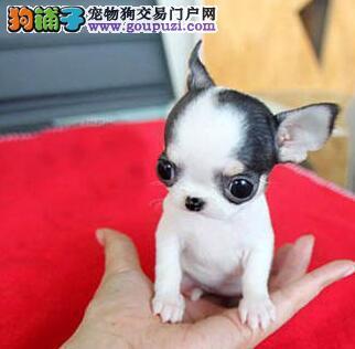 梧州市出售吉娃娃幼犬 签协议 上门挑选 有证书可刷卡