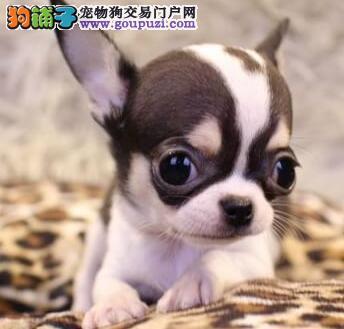 新余市市出售吉娃娃幼犬 纯种健康 可上门选购 签协议
