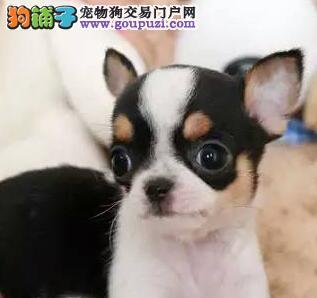 合肥买赛级血统吉娃娃幼犬价格美丽检查健康后付款小体