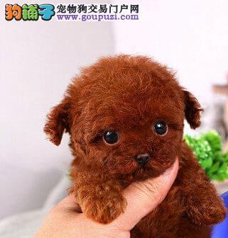 广州售家养韩国引进茶杯体型小泰迪卷毛小贵宾幼犬