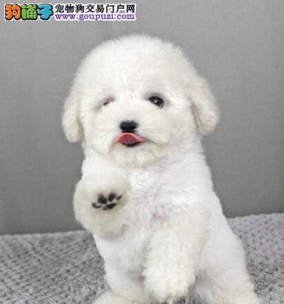 温州自家繁殖的超小体泰迪犬找爸爸妈妈 非诚勿扰
