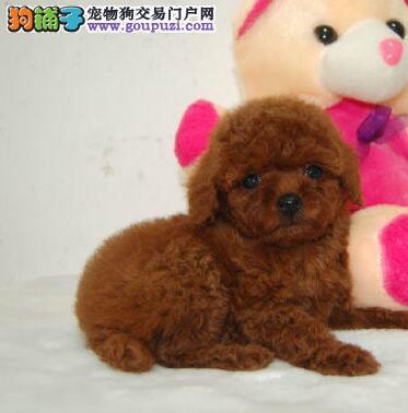 湘潭出售小体泰迪 颜色齐全健康品质泰迪熊放心喂养1