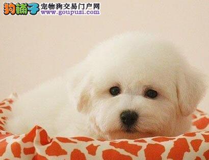 北京售纯种比熊犬 棉花糖白色粉扑幼犬公母全有可挑选