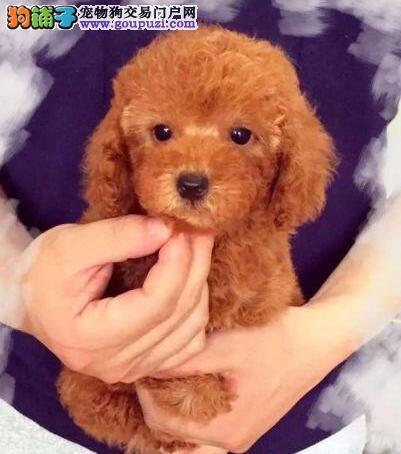 特价出售纯种贵宾犬保证健康纯种成都地区可送狗上门