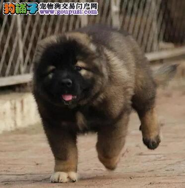 济南自家狗场出售出售纯种高加索犬 保证赛级品质