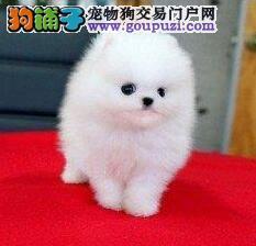 CKU犬舍认证出售高品质渭南博美犬国际血统证书