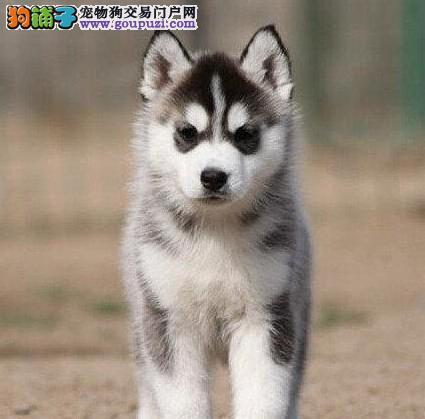 蓝眼睛三火哈士奇幼犬低价出售 桂林市内免费送货