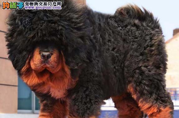 出售威猛i潇洒的藏獒犬 健康证书 血统证书3