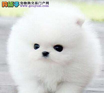 昆明狗场直销一一出售纯种博美幼犬一一包养活签协议
