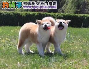 促销价格出售日系无锡秋田犬 血缘清楚公母都齐全