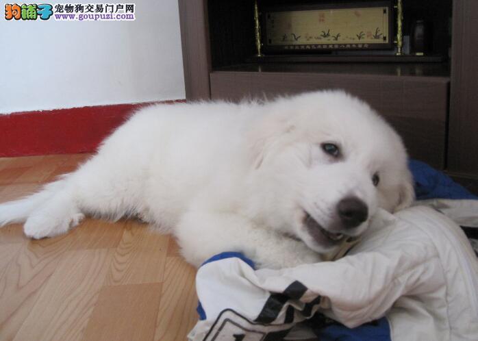 掌握大白熊犬的头部特征 摒弃不可取的缺陷
