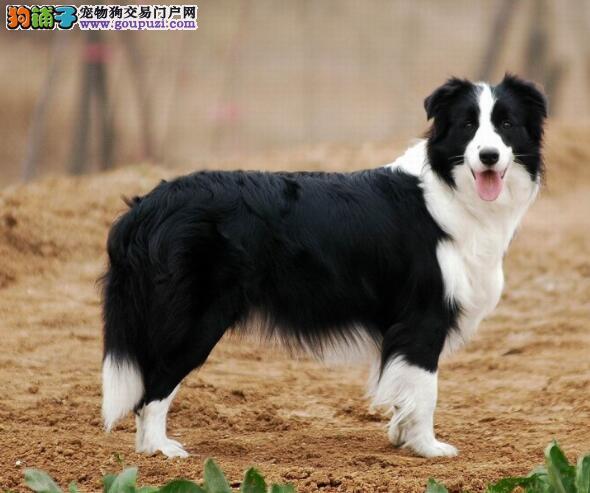 挑选极品狗 边境牧羊犬的体型特点是怎样的
