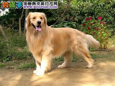 告诉你优秀的金毛犬所具备的特征都有哪些