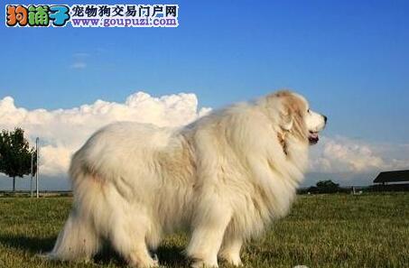 挑选需谨慎 大白熊犬的品种特点是怎样的