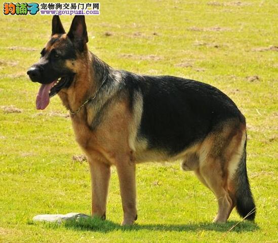 德国牧羊犬的几点特征与挑选要点