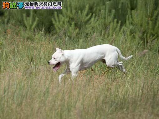 挑选诀窍 教你了解杜高犬的身躯特征