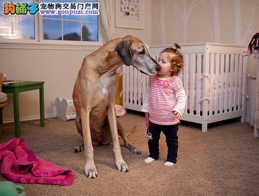 了解大丹犬的性格特征 让你选择到优秀的狗狗