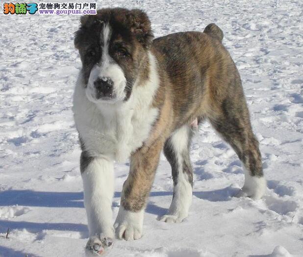 挑选关键问题之中亚牧羊犬的犬种特征