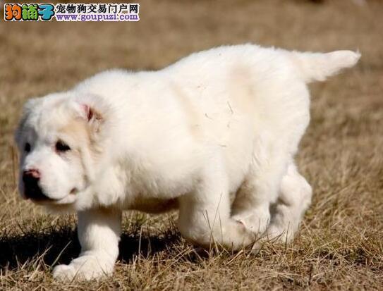 中亚牧羊犬的身体特征与挑选方法