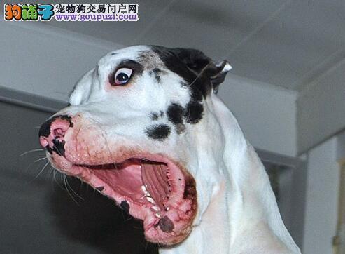 可爱大丹犬调皮滑稽频做鬼脸逗人笑