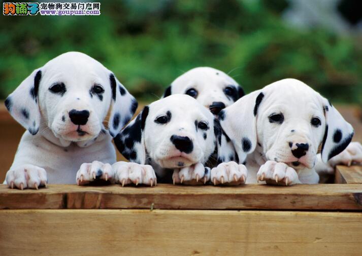 讲述斑点狗的优缺点 让你购买到优秀犬