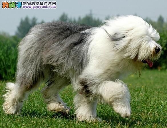 挑选方法集锦 古代牧羊犬的头部特征
