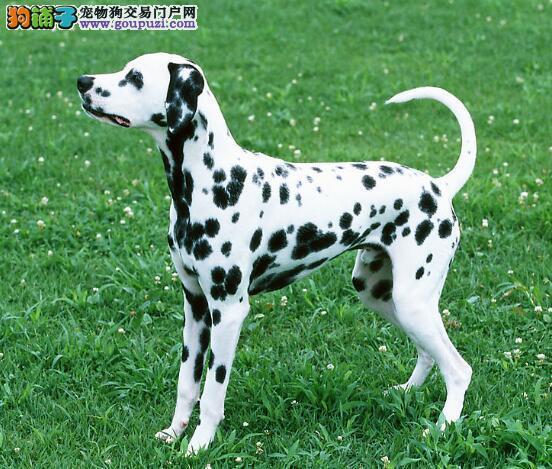 斑点狗的生活习惯和性格特征有哪些