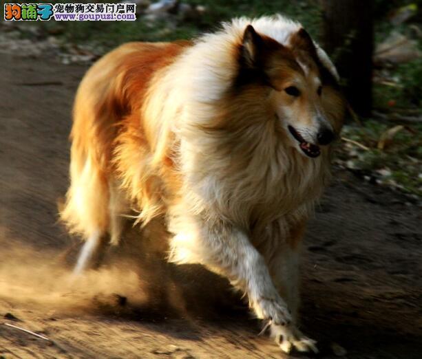 简要说明一下苏格兰牧羊犬的犬种特征与性格特点
