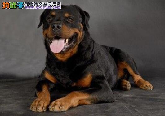 教你从步态和气质看罗威纳犬的优秀程度
