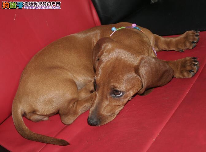 腊肠犬身体各个部位和优劣程度之间的关系