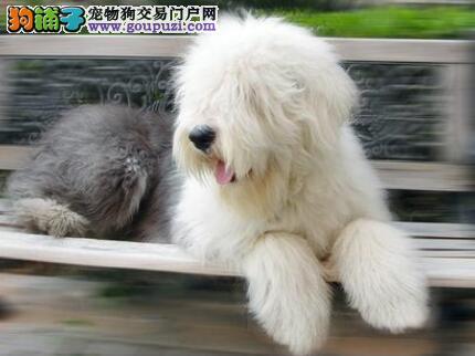 好狗有好身材 古代牧羊犬的身躯有哪些特点