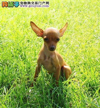 如何根据体型特征购买优秀的小鹿犬
