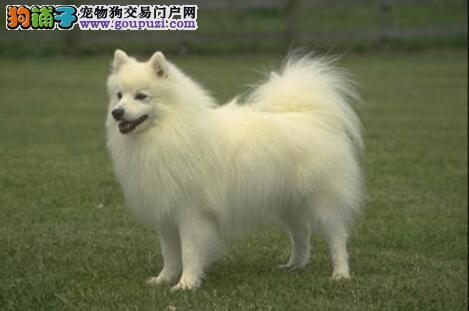 辨别银狐犬是否是纯种的技巧与挑选要点