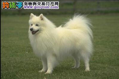 狗狗智商解析 银狐犬的智商到底有多高