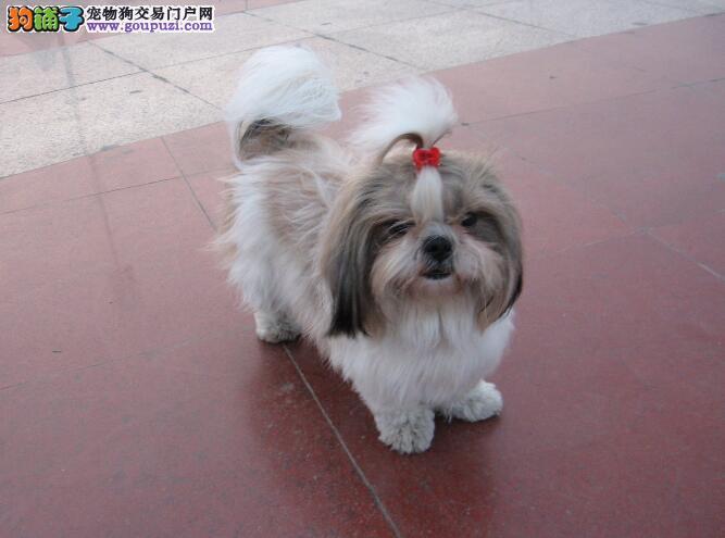 好狗优点多 优秀西施犬具备的几点特征