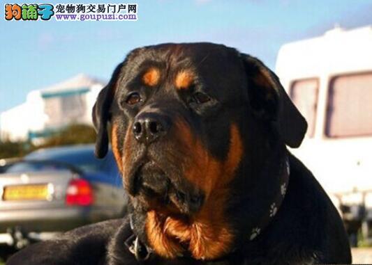 罗威纳犬自身的特点和影响它性格特点的原因