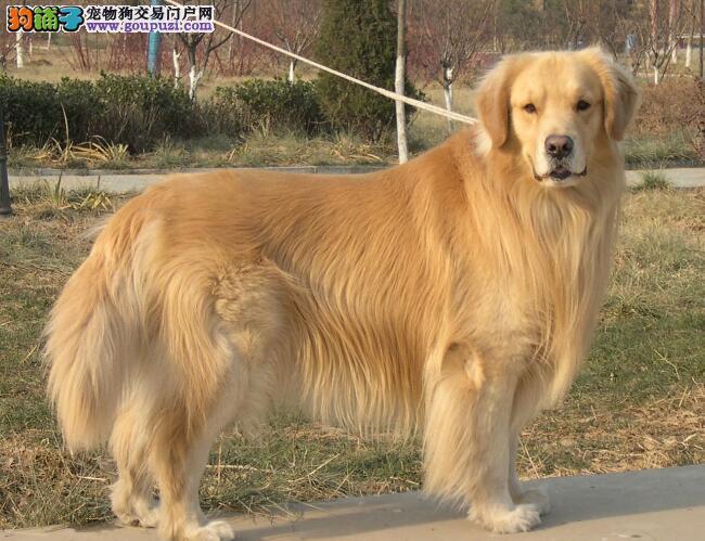 了解金毛犬的身体特征 让挑选工作更加简单