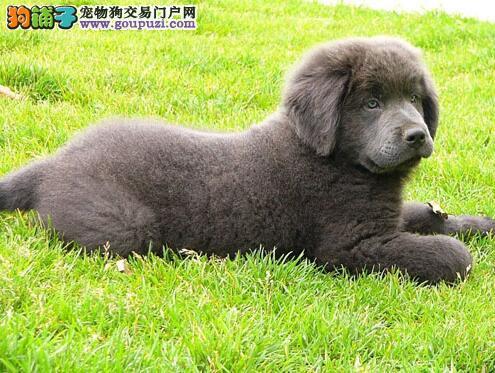 分辨优秀犬 标准纽芬兰犬的形态特征