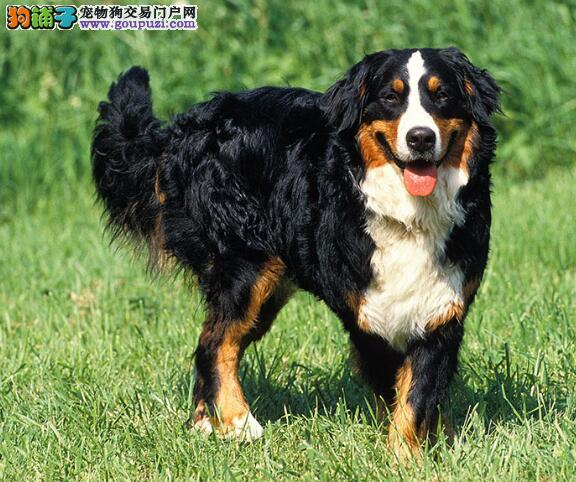伯恩山犬的步态特点与纯度之间的关系