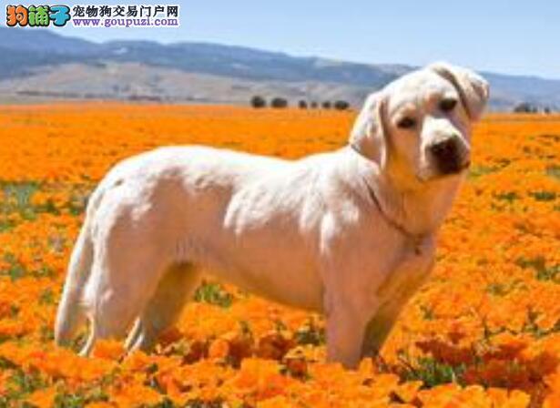 关于拉布拉多犬的头部特征与挑选要点